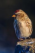 Common Redpoll - Acanthis flammea