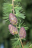 European Larch Larix decidua Pinaceae Height to 35m<br /> Deciduous, conical conifer. Foliage turns golden before needles fall in autumn. Bark Greyish-brown, fissured with age. Branches Mostly horizontal. Needles To 3cm long, in bunches of up to 40. Reproductive parts Male flowers are yellow cones. Female cones are red in spring, maturing brown and woody. Status Native of central Europe, planted here for timber and ornament.