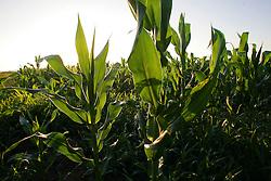 Colheita do milho em uma lavoura do municipio de Camaquã, no Estado do RS. FOTO: Jefferson Bernardes / Preview.com