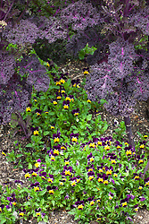 Viola 'Heartsease' planted under Kale 'Red Bor'