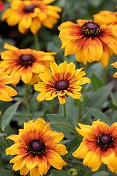 Rudbeckia 'Summerina Patio Yellow' syn. Echibeckia