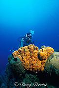 diver and orange elephant ear sponge, Agelas clathrodes, at Blue Wall, Curacao, Netherlands Antilles ( Caribbean Sea ) MR 79