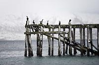 Shag (Phalacrocorax aristotelis), Lofoten, Norway