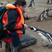 A curious Magellanic penguin approaches photographer Gordon Wiltsie at giant rookery on Magdalena Island in the Strait of Magellan, Chile.