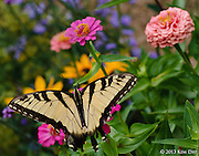 Cream butterfly at Solebury Orchard<br /> August 2010