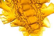 Sea belt (Saccharina latissima) is a  brown algae. Roscoff, France |Der Zuckertang (Saccharina latissima) ist eine Braunalge, Roscoff, Frankreich
