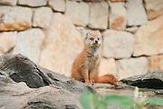 A fox in captivity