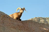 Rocky Mountain Bighorn Sheep (Ovis canadensis). Badlands National Park South Dakota