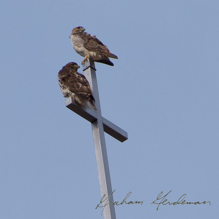Two Red Tailed Hawks on a church steeple in Nashville, TN.