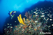 diver with yellow tube sponges, Aplysina fistularis, and gray chromis, Chromis multilineata,  at New Guinea Reef, St. Vincent ( Eastern Caribbean Sea )   MR 251