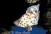 pantherfish, panther grouper, humpback grouper or barramundi cod, Cromileptes altivelis, Australia