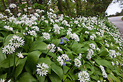 Ramsons wild garlic, Allium Ursinum with bluebell in wild hedgerow, Cornwall, England, UK..