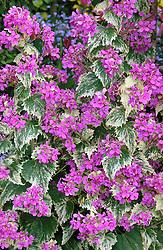 Lunaria annua 'Variegata'<br /> Honesty