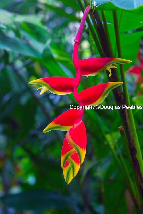 Heliconia pendula, Hawaii Tropical Botanical Garden, Hilo, Hamakua Coast, Big Island of Hawaii