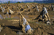 Central America, Honduras, Aguan Valley. Devastation in the aftermath of Hurricane Mitch. High winds and flooding. Banana and other crops and forests destroyed. Soil erosion caused by deforestation.