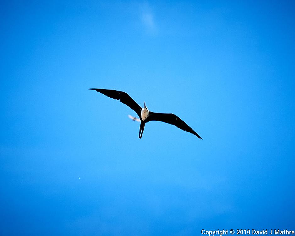 Magnificent Frigatebird (Fregata magnificens).  Image taken with a Nikon D3x camera and 50 mm lens.