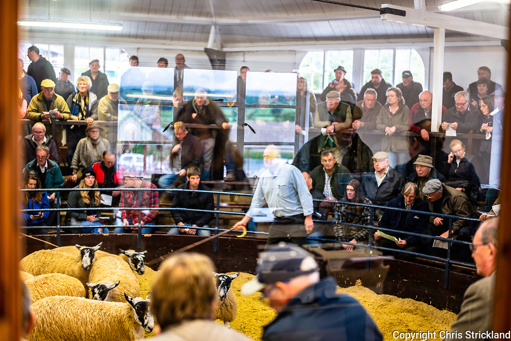 Lazonby, Penrith, Cumbria, England, UK. 3rd October 2018. The largest sheep sale in the North of England, known as the Alston Moor Sale, takes place at Lazonby Mart. 18,026 Gimmer Lambs are sold to purchasers from across the UK by the hill farmers of Northumberland, Cumbria and Yorkshire. The British sheep trade reported low prices in 2018 due to political uncertainty and extreme weather conditions.