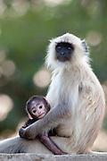 Indian Langur monkeys, Presbytis entellus, female and baby in Ranthambore National Park, Rajasthan, India
