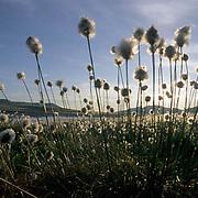 Alaska, Wildflowers, Cotton Grass, (Eriophorum scheuchzeri Hoppe) Arctic.