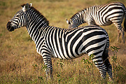 Herd of Zebras in the Ngorongoro Crater, Tanzania