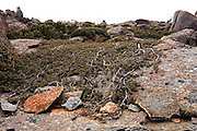 Lateral Growth, Mount Wellington - Tasmania