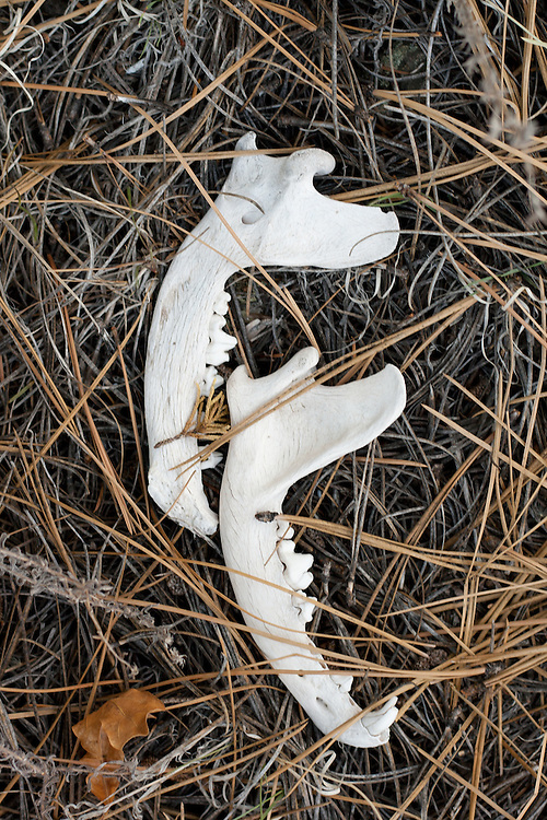 Bones found in Carson National Forest, June 2011.