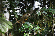 Common Squirrel Monkey (Saimiri sciureus)<br /> Yasuni National Park, Amazon Rainforest<br /> ECUADOR. South America<br /> HABITAT & RANGE: Tropical forests of Brazil, Columbia, Ecuador, French Guiana, Guyana, Peru, Suriname, Venezuela and Puerto Rico.