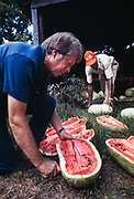 President elect Jimmy Carter cuts watermelons on his farm land in Plains, Georgia. Carter was walking his land with one of his tenant farmers - Leonard Wright in the background.