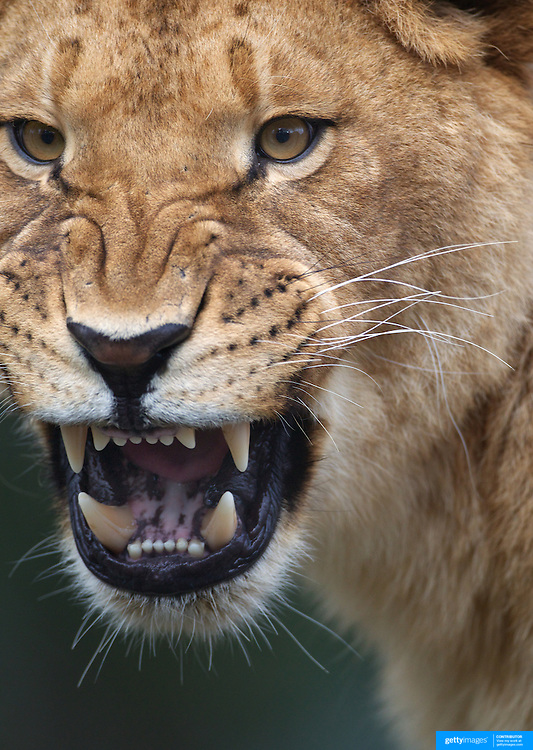 A lioness roars at Orana Wildlife Park, Christchurch. Set on 80 hectares, Orana Wildlife Park is New Zealand 's only open range zoo. .Over 400 animals from 70 different species are displayed. Mcleans Island Road, Christchurch, New Zealand. 9th June 2011. Photo Tim Clayton.