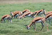 South Africa, a herd of grazing Springbok (Antidorcas marsupialis) at Krugersdorp reservation. side view