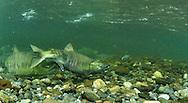 Spawning Chum Salmon<br /> <br /> Paul Vecsei/Engbretson Underwater Photography