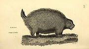 Canada Porcupine from General zoology, or, Systematic natural history Vol 2 Mammalia, by Shaw, George, 1751-1813; Stephens, James Francis, 1792-1853; Heath, Charles, 1785-1848, engraver; Griffith, Mrs., engraver; Chappelow. Copperplate Printed in London in 1801 by G. Kearsley