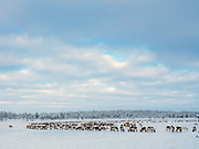 Reindeer feeding on 19th February 2020 near Pallas-Yllastunturi National Park in Finnish Lapland.   Established in 2005, Pallas-Yllastunturi National Park is the third largest national park in Finland. The area has been inhabited since the Stone Age and is home to the Sami people, the National Park is an important pasture for reindeer.