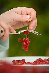 Using fork to strip redcurrants from stems