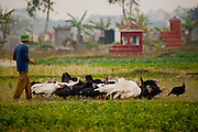 A man herds a rafter of turkeys between rice fields and a cemetery in  Ha Tay Province outside Hanoi, Vietnam.
