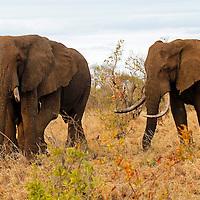 Africa, Kenya, Meru. Two older male African elephants.