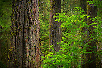 Old growth, Hoh Rainforest, Olympic National Park, WA, USA