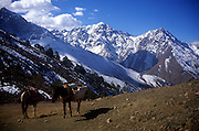 Mules at a high pass with snow covered mountain peaks, Atlas Mountains, Morocco