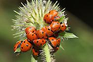 7 Spot Ladybirds Coccinella 7-punctata on Small Teasle in autumn.