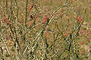 Ocotillo (Fouquieria splendens) in the Anza-Borrego Desert of southern California, USA