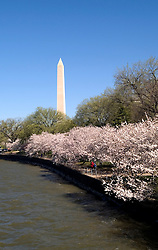Washington, DC: Cherry Blossom Festival.  Cherry blossoms and Washington Monument.  Photo #: washch112 (nef473)..Photo copyright Lee Foster, www.fostertravel.com, 510-549-2202, lee@fostertravel.com