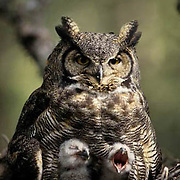 Great Horned Owl, (Bubo virginianus) Portrait of adult and chicks in nest in old growth forest. Spring. Montana.