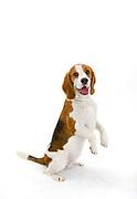Ladies Kennel Association<br /> 2008 Championships<br /> Beagle (Minx)<br /> Owner Melanie Spavin