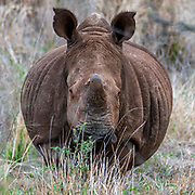 White rhinoceros (Ceratotherium simum) from Zimanga Private Reserve, South Africa.
