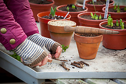 Taking root cuttings from an oriental poppy using a knife on a greenhouse bench.