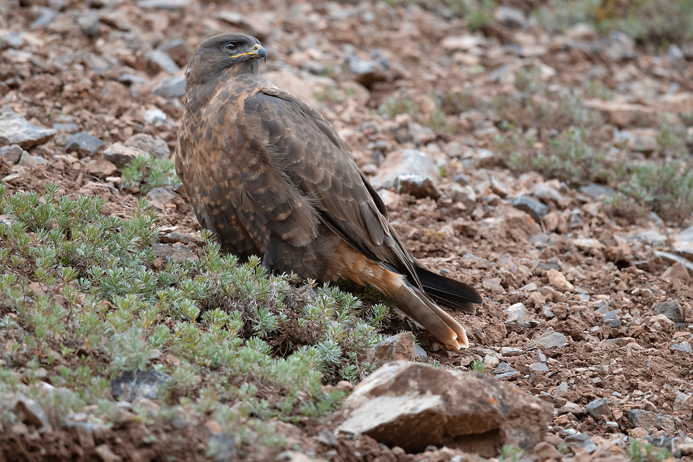 "Upland buzzard, Buteo hemilasius, Angsai nature reserve, ""Valley of the Cats"", Sanjiangyuan National Nature Reserve, Tibetan Plateau, Qinghai, China"