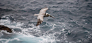 A pelican cruises low over the ocean waves