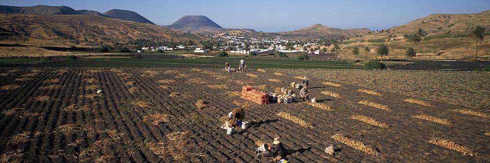 SPAIN, CANARY ISLANDS, LANZAROTE farmers harvesting onions near La Haria