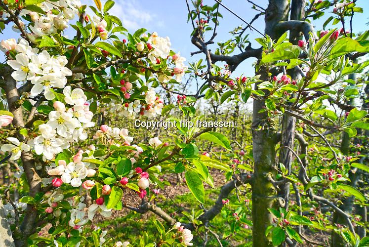 Nederland, Wadenoijen, 14-2019Boomgaard van apples staat in bloei . Het is een mooie dag in de lente .Foto: Flip Franssen