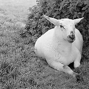 Resting Lamb - Avebury, UK - Black & White